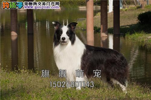 宁夏家养边牧极品狗狗送用品全国发货
