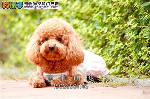 宁夏犬舍泰迪出售下单有礼送用品全国发货