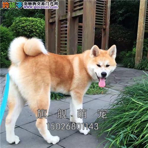 湖北柴犬日本双血统驱虫已做全国发货