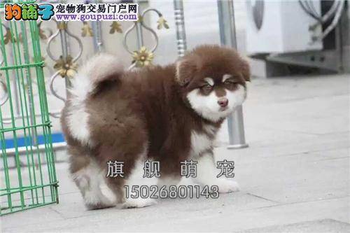 湖北犬舍阿拉斯加聪明熊版幼犬全国发货