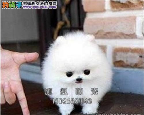 西藏博美好养小犬全国包运全国发货