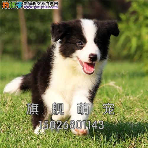 西藏犬舍边牧纯种高品质小送用品全国发货