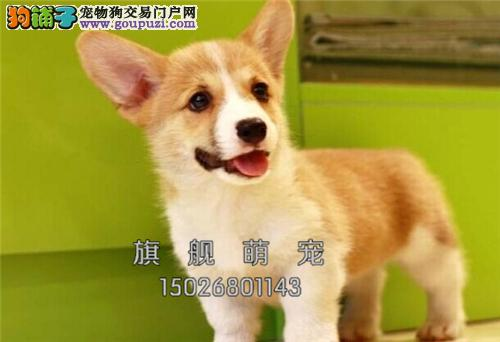西藏柯基精品骨量足狗狗驱虫已做全国发货