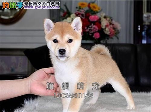 西藏柴犬新生憨厚幼犬血统纯正全国发货