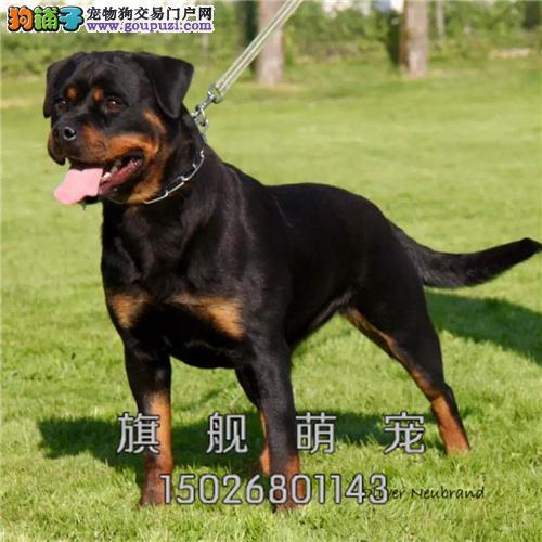 浙江最大犬舍罗威纳聪明公母均有全国发货