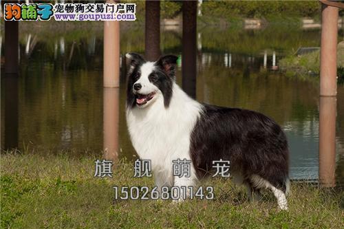 浙江正规犬舍秋田精品全国包运全国发货