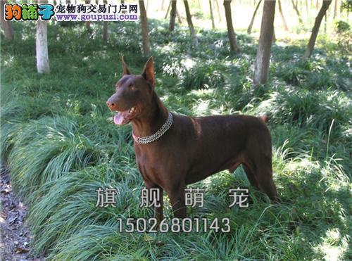浙江杜宾赛级小犬幼犬待售全国发货