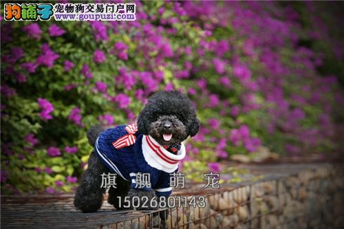 浙江泰迪好养纯种袖珍狗狗包纯种全国发货