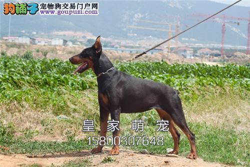 河南杜宾活泼可爱自家养幼犬全国发货