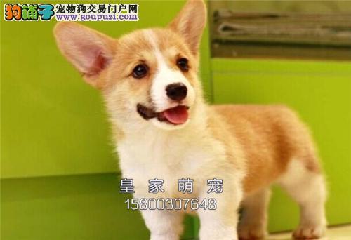 河南家养柯基帅气纯种幼犬待售全国发货