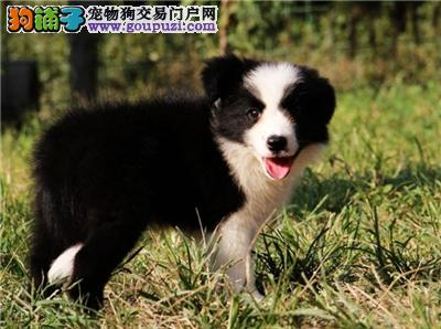 河南便宜出售边牧赛级小幼犬待售全国发货