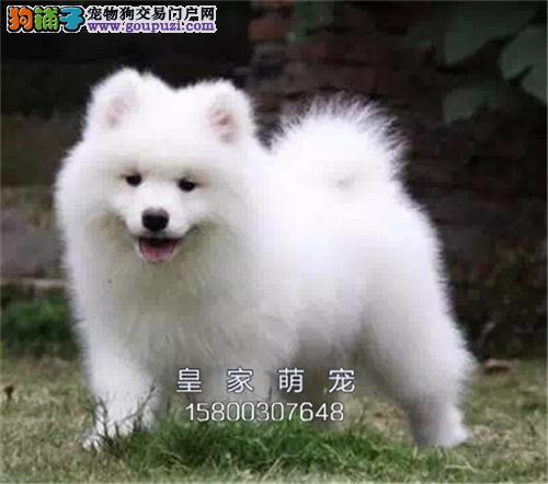 河南萨摩耶乖巧微笑天使狗狗全国发货
