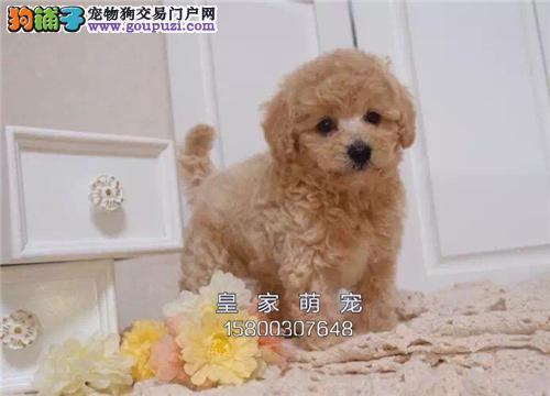 河南犬舍泰迪专业繁殖小体包纯种全国发货