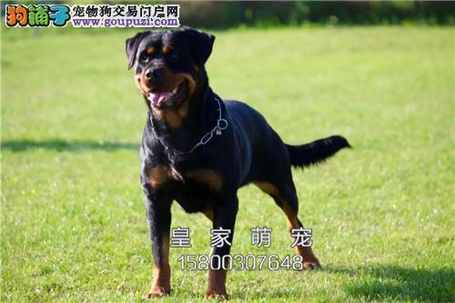 河南罗威纳精品出售幼犬待售全国发货
