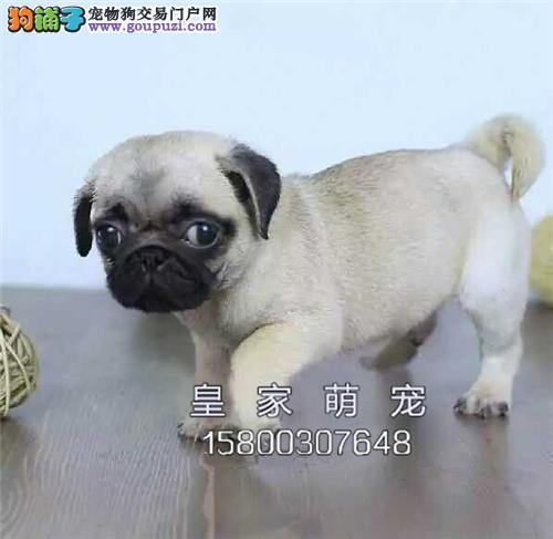 广东家养巴哥听话犬公母均有全国发货