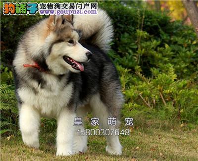 广东犬舍阿拉斯加健康小幼犬全国发货