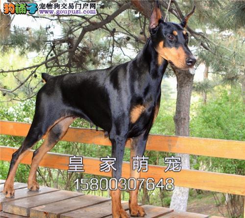 广东杜宾漂亮三个月犬保健康全国发货