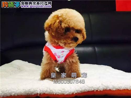 广东家养泰迪听话贵宾公母均有全国发货