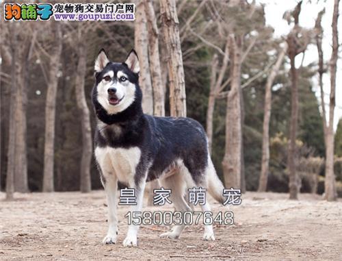广东犬舍哈士奇新生活泼可爱全国发货