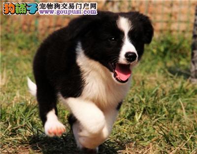 广东犬舍边牧可爱小找新家包纯种全国发货