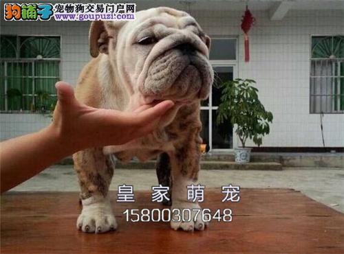 广东家养英牛极品好养带证书全国发货