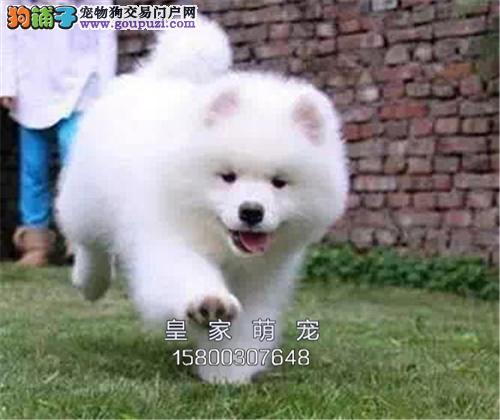 广东萨摩耶极品澳版犬包纯种全国发货