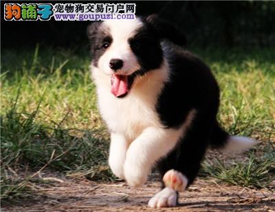 广东边牧聪明高智商送用品全国发货