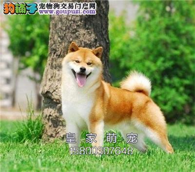广东柴犬赛级纯种忠厚疫苗已做全国发货