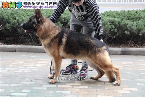 广东最大犬舍德牧极品幼犬送用品全国发货