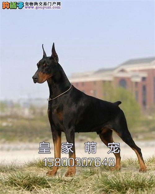 广东犬舍杜宾聪明出售灵性找新家全国发货