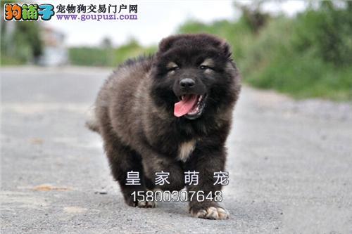 广东高加索帅气犬公母均有全国发货