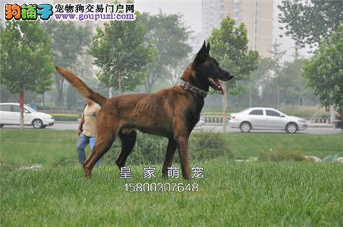 广东哪里有马犬纯种漂亮幼犬待售全国发货