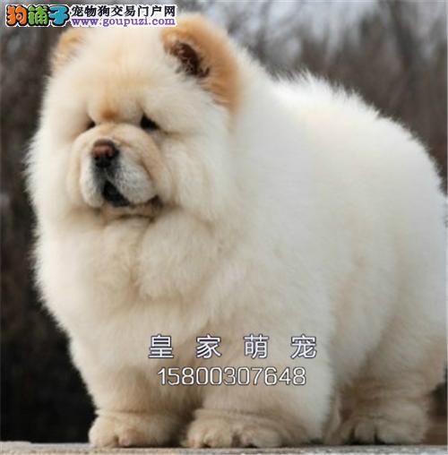 广东松狮极品金黄找新家双血统全国发货