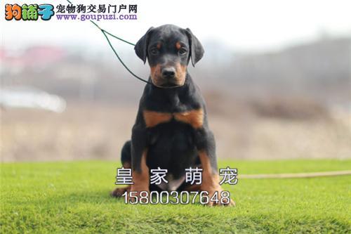 广东杜宾赛级小犬幼犬待售全国发货
