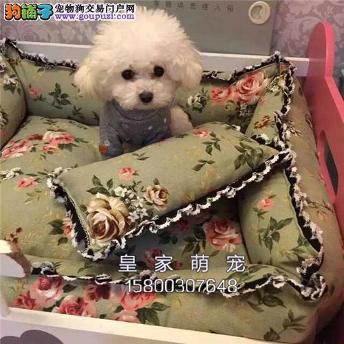 广东家养泰迪极品三个月公母均有全国发货