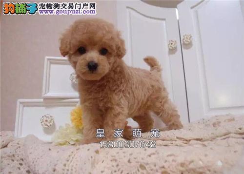 广东泰迪小体狗狗下单有礼送用品全国发货