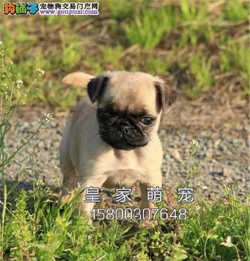 广东犬舍巴哥健康聪明鹰版全国发货