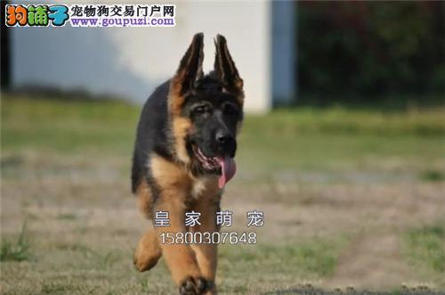 广东犬舍德牧听话健康三个月全国发货