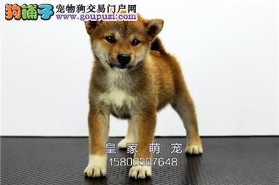 广东柴犬骨量足赛级正宗双血统全国发货