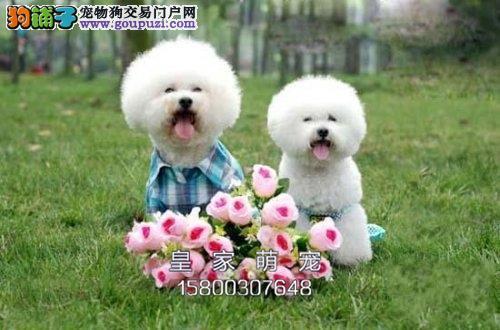 广东比熊高品相赛级小犬驱虫已做全国发货