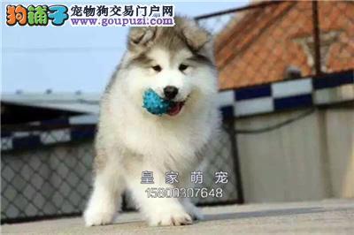 浙江出售阿拉斯加三个月狗狗全国发货
