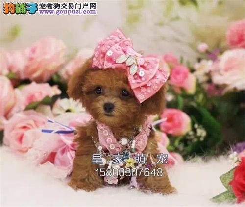 浙江哪里有泰迪多色幼犬包纯种全国发货