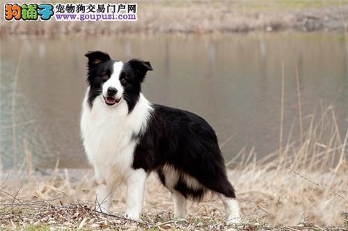 浙江家养边牧可爱纯种幼犬全国发货