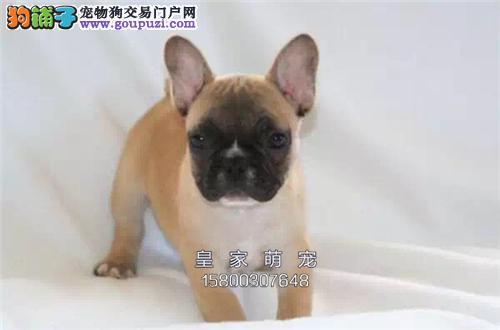 浙江犬舍法牛漂亮憨厚双血统全国发货
