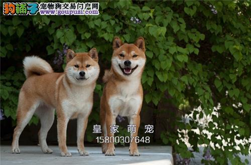浙江最大犬舍秋田精品高品质全国发货