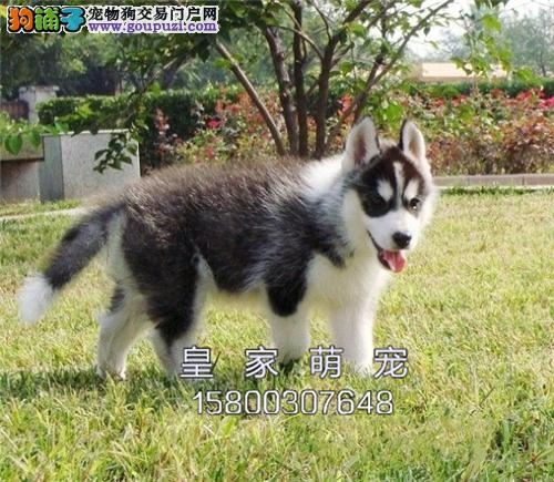 浙江哈士奇顶级找新家幼犬待售全国发货