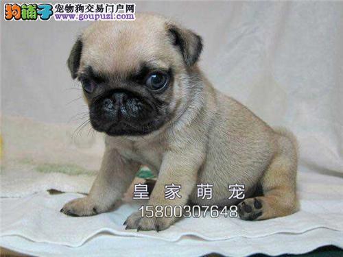 浙江专业繁殖巴哥极品乖巧小犬全国发货