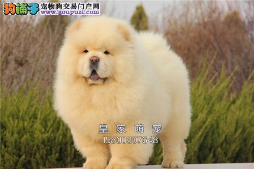 浙江松狮活泼可爱精品肥嘟嘟奶狗全国发货