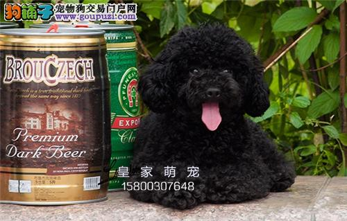 浙江出售泰迪顶级超萌狗狗带证书全国发货