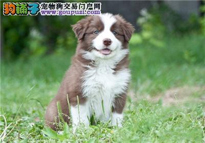 浙江哪里有边牧赛级新生狗狗全国发货